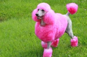 pink-poodle-real-dog